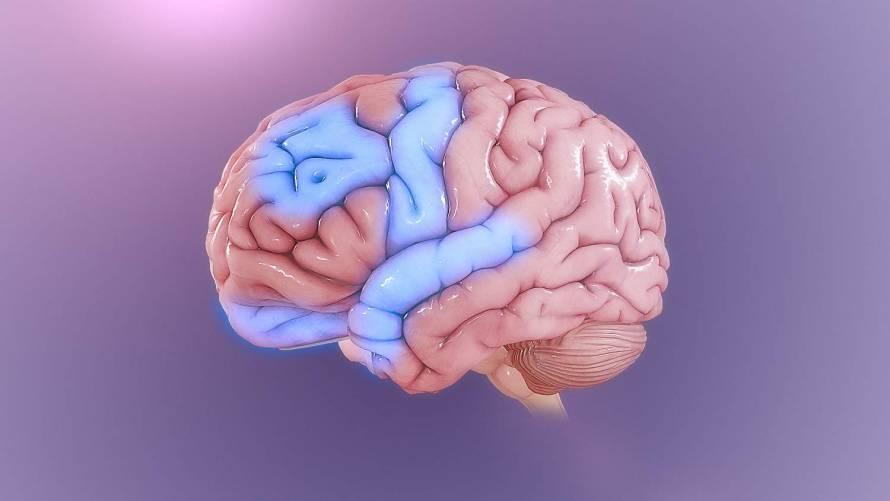 Az agy, illetve tekervényeinek illusztrációja.