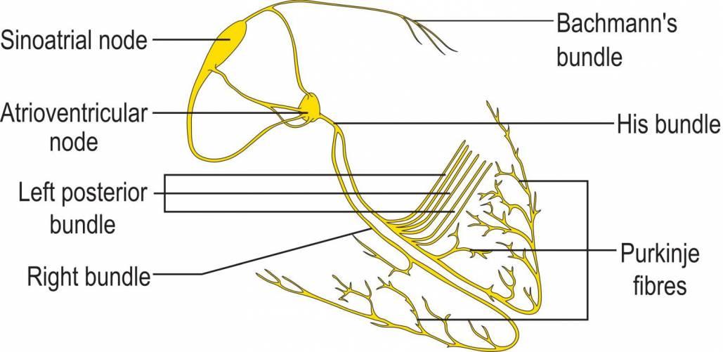 A szív ingerképzése és -vezetése (rajzos illusztráció)