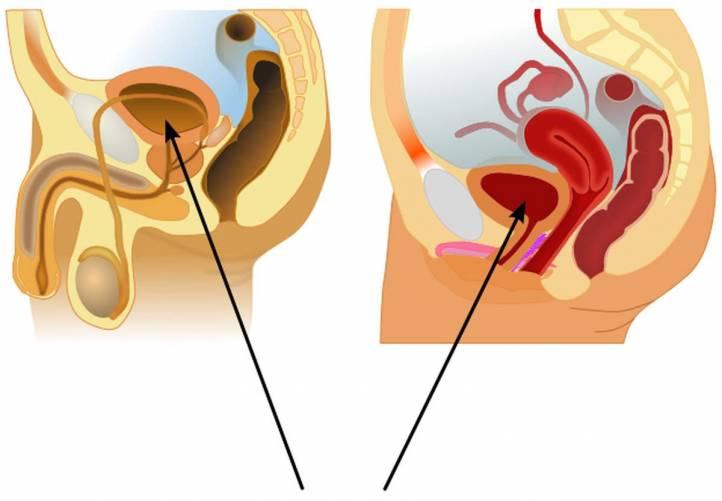 Húgyhólyag elhelyezkedése férfi és nő esetében, nyílirányú metszeten (rajz)