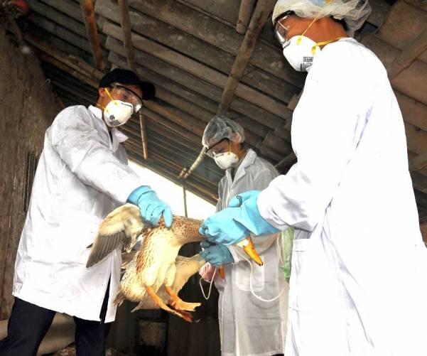 Kacsa beoltása madárinfluenza ellen