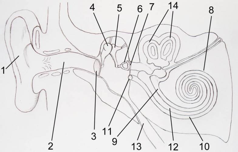 A fül anatómiája sematikusan