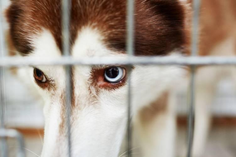 Kutya (Husky, illusztráció)